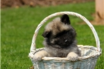 Picture of Babs / Keeshond