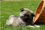 Picture of Bruno / Keeshond