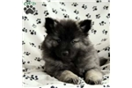 Picture of Tessy / Keeshond