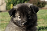 Picture of Mariah / Keeshond