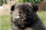 Picture of Marco / Keeshond