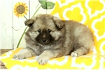 Picture of Karla / Keeshond