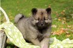 Picture of Colby / Keeshond