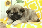 Picture of Kelly / Keeshond