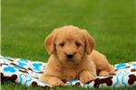 Picture of Blooms / Labradoodle Miniature
