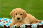 Picture of Buddy / Labradoodle Miniature