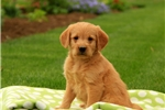 Picture of Bruno / Labradoodle Miniature