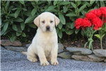 Picture of Adelle / Yellow Lab