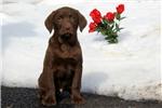Picture of Shelby / Labrador Retriever Chocolate