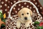 Picture of Nicky / Labrador Retriever Yellow