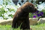 Picture of Java / Labrador Retriever Chocolate