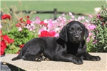 Picture of Carrie / Black Lab
