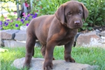 Picture of Duke / Chocolate Lab