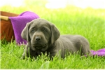 Picture of Emery / Labrador Retriever Charcoal