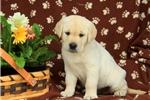 Picture of Nezzie / Labrador Retriever Yellow