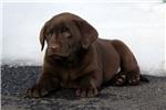 Picture of Sammy / Labrador Retriever Chocolate