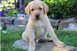 Picture of Ava / Yellow Lab