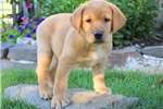 Picture of Lilly Jr / Yellow Lab