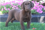 Picture of Astor / Chocolate Lab