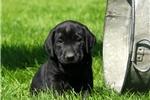 Picture of Dobie / Labrador Retriever Black