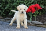 Picture of Alex / Yellow Lab