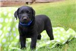 Picture of Oscar / Labrador Retriever Black