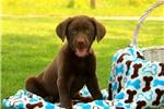 Picture of Columbo / Labrador Retriever Chocolate