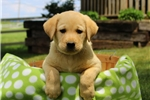 Picture of Olivia / Labrador Retriever Yellow