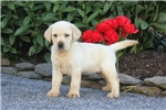 Picture of Alissa / Yellow Lab