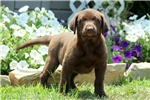 Picture of Juniper / Labrador Retriever Chocolate