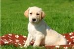 Picture of Daisy / Labrador Retriever Yellow