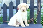 Picture of Yosef / Yellow Lab