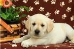 Picture of Nala / Labrador Retriever Yellow