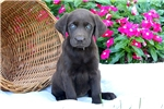 Picture of Yana / Chocolate Lab