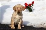 Picture of Brianna / Labrador Retriever Yellow