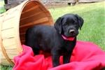 Picture of Olive / Labrador Retriever Black