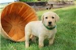 Picture of Obie / Labrador Retriever Yellow