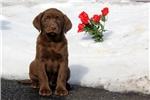 Picture of Sonny / Labrador Retriever Chocolate