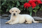 Picture of Ajay / Yellow Lab