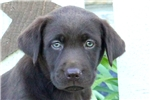 Picture of Yoyo / Chocolate Lab