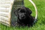 Picture of Doxy / Labrador Retriever Black