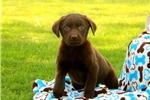 Picture of Clarie / Labrador Retriever Chocolate