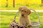 Picture of Chuck / Labrador Retriever Yellow