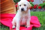 Picture of Eve / Labrador Retriever Yellow