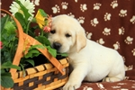 Picture of Nash / Labrador Retriever Yellow