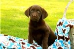 Picture of Cosette / Labrador Retriever Chocolate