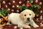 Picture of Nora / Labrador Retriever Yellow