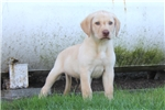 Picture of Frankie / Yellow Lab