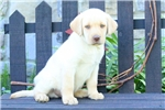 Picture of Yael / Yellow Lab