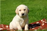 Picture of Duster / Labrador Retriever Yellow